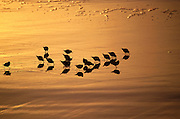 A group of sand pipers feeds in the amber glowing wet sunset sand at Ocean Beach, San Francisco.