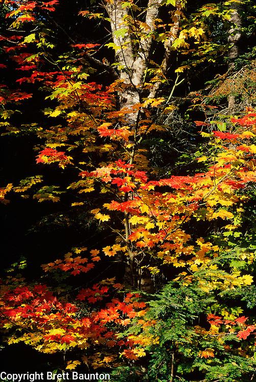 Vine Maples, Mt. Baker, North Cascades, WA, Fall