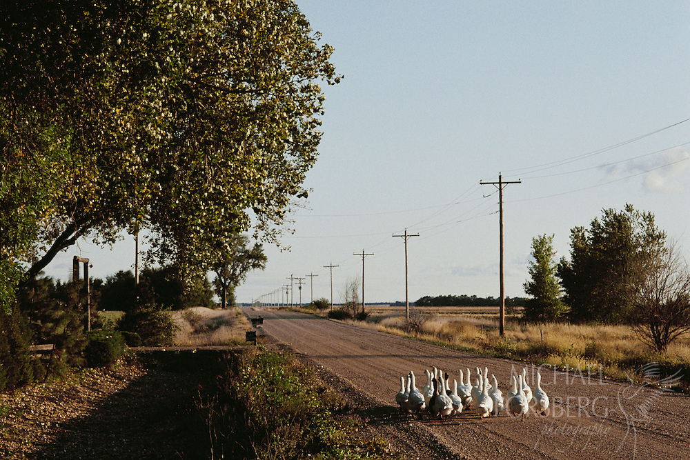 Domestic geese waddle down a country road.  Phelps County, Nebraska.