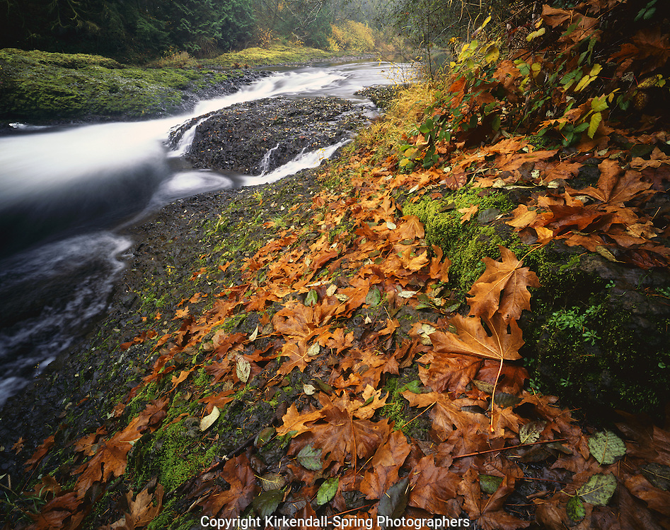 AA04557-03...WASHINGTON - Autumn leaves on the banks of the Chehalis River at Rainbow Falls in Rainbow Falls State Park.
