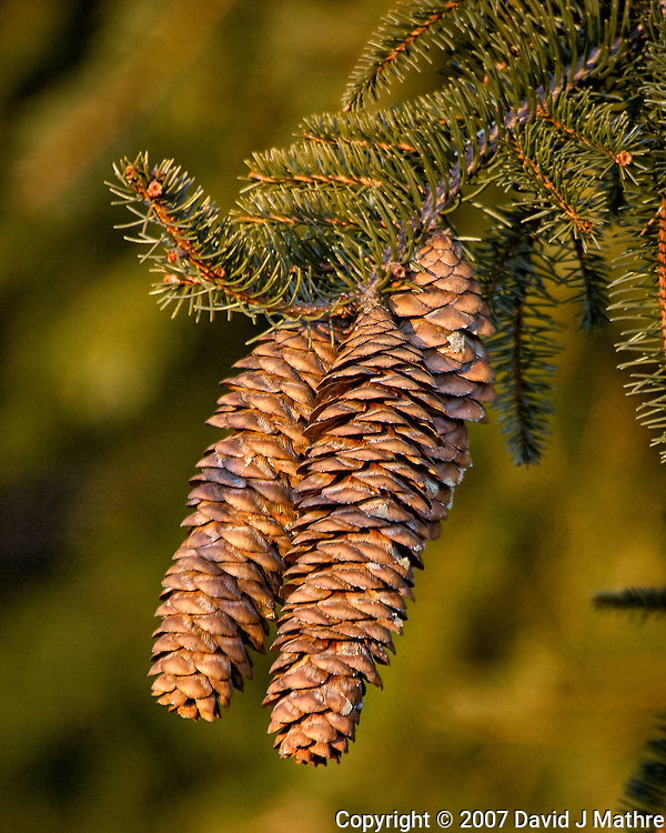 Pine cones in the late afternoon sun. Backyard winter nature in New Jersey. Image taken with a Nikon D2xs camera and 80-400 mm VR lens (ISO 100, 400 mm, f/5.6, 1/125 sec).