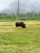 A musk ox grazes on grass at the Alaska Wildlife Conservation Center near Girdwood, Alaska.