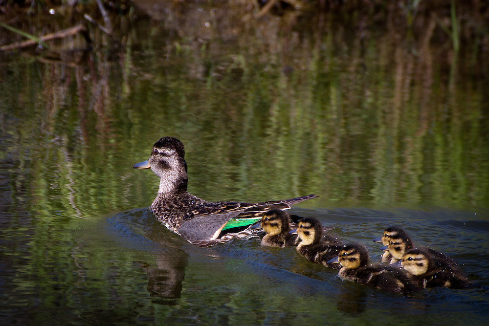 Green-winged Teal - Anas crecca with ducklings