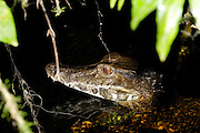 Ecuador, May 13 2010: A Caiman in a river in the Cuyebeno Reserve. Copyright 2010 Peter Horrell