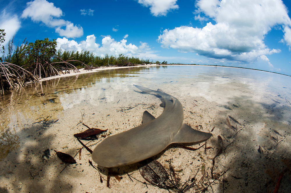 A baby lemon shark in shallow water.