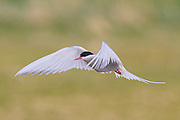An arctic tern (Sterna paradisaea) flies over a field on the Snæfellsnes peninsula in western Iceland. Arctic terns migrate farther than any other bird, traveling in pursuit of a continuous summer. They spend the northern hemisphere in Iceland and other areas in the far north, then travel to spend the southern hemisphere summer near Antarctica.