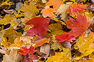 Oak and maple leaves on the ground with autumn colors at Brown County State Park near Nashville, Indiana, USA