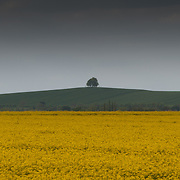 Oil Seed Rape, Oxfordshire