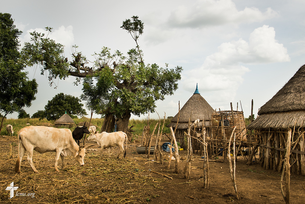 Cattle graze Wednesday, Sept. 23, 2015, at the Leitchour Refugee Camp outside Gambela, Ethiopia. LCMS Communications/Erik M. Lunsford