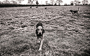 Bloodhound meet Old Farm Dorn
