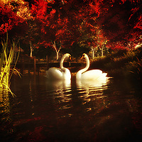 Available as canvas wall art or framed wall art, Swans in a Pond depicts a peaceful scene of nature. We see two swans moving along together. We see the gentle, pristine water. As we stare longer, we begin to take in the rest of the background. The mountains are spectacular. The trees are wise and beautiful. There are some wondrous details to these things. Taken as a whole, this is an image we would love to come across in our own day to day lives. We would love the chance to sit somewhere nearby, take in the perfect weather, and watch the swans in the pond. .<br />