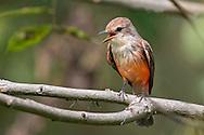 Vermilion Flycatcher (Pyrocephalus rubinus) female, Cali, Valle del Cauca