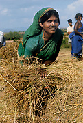 India 1967 -  Young woman harvesting rice in Tamil Nadu, formerly Madras State.