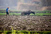 Farmer uses a buffalo to pull plough through a crop field near Fuli, Xingping, China
