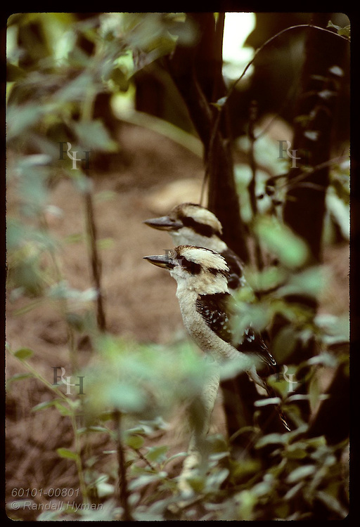Two kookaburras sit beside each other on rail amid foliage at zoo in Wagga Wagga, New South Wales. Australia