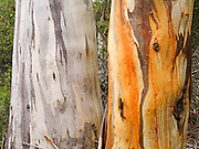 Gum trees (eucalyptus) grow colorful bark patterns on the Overland Track. Cradle Mountain-Lake Saint Clair National Park, Tasmania, Australia. Mostly native to Australia where they dominate the tree flora, Eucalyptus is a diverse genus of flowering trees (and a few shrubs) in the myrtle family, Myrtaceae. Many are known as gum trees because of copious sap exuded from any break in the bark.