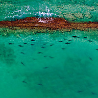 &quot;Reef Sharks&quot; - Blacktip Reef Sharks congregate to mate in Cabo Pulmo National Park in Mexico. Once degraded by overfishing, Cabo Pulmo has become the world's most robust marine reserve. <br />
