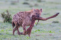 Spotted Hyena carring the leg of a scavenged Kudu, Addo Elephant National Park, Eastern Cape, South Africa