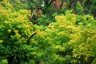 Autumn / fall colors along the Battle Creek trails on a rainy / cloudy Autumn day.  Red, orange and yellow leaves all around.    <br /> <br /> Colores de Oto&ntilde;o alrededor de los senderos de &quot;Battle Creek&quot; o la Ca&ntilde;ada de la Batalla en un nublado dia de dicha estacion.  Rojas, naranjas y amarilla hojas todo alrededor.  Pleasant Grove, Utah.