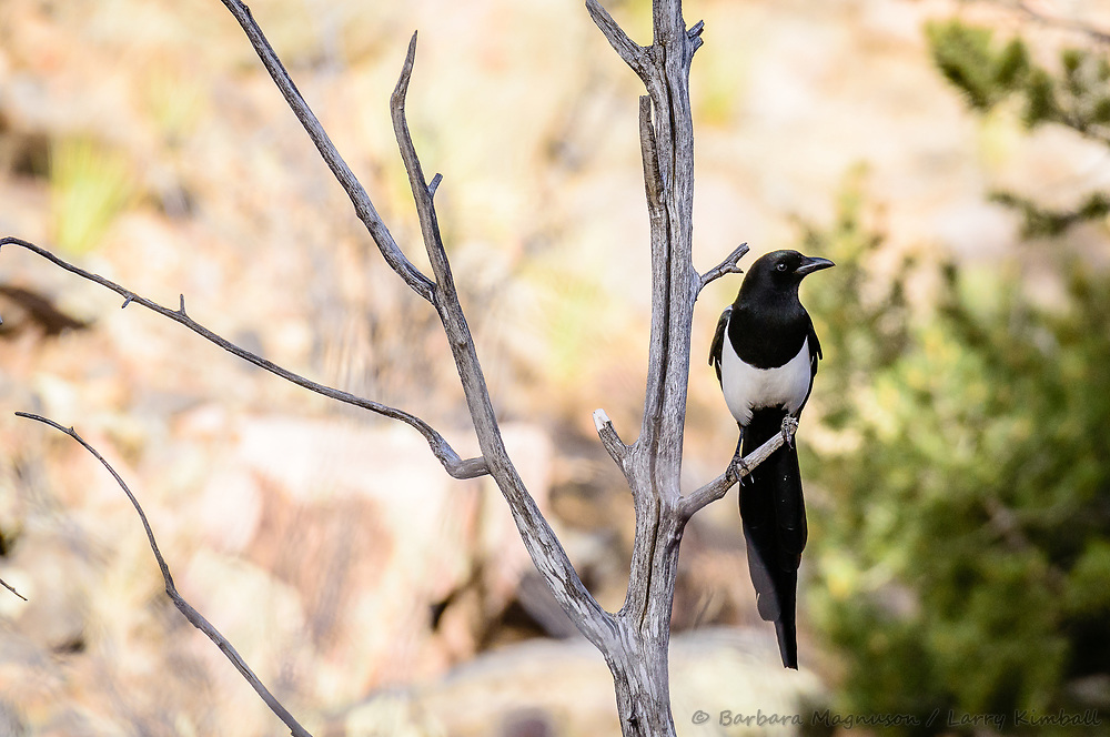Black-billed Magpie [Pica hudsonia] perched; Big Cottonwood Creek, Colorado