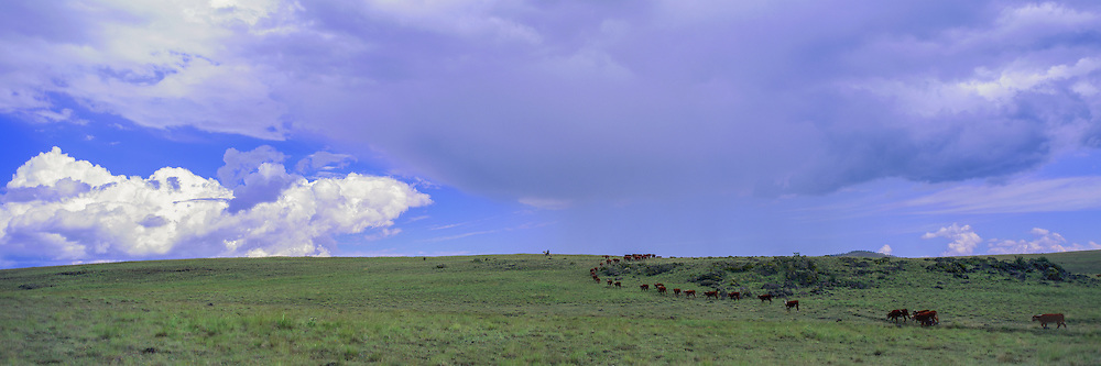 Cowboy rounds up cattle on the Colorado Plateau in Arizona during a summer rain storm