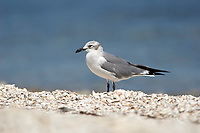 Laughing Gull Larus atricilla from Causeway between Fort Myers and Sanibel Island Florida USA