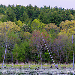 Trees in spring next to a beaver pond in Epping, New Hampshire.