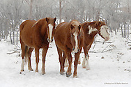 Wild Horse<br /> Cheyenne River Sioux Reservation, South Dakota<br /> <br /> These members of the Catnip herd seek shelter from the snow among a small stand of trees on the plains of South Dakota.<br /> <br /> Edition of 500