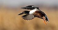 A Northern Shoveler Drake duck at the Delta Marsh, early Thursday, April 12, 2012. (TREVOR HAGAN)
