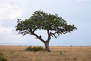baboons sit on a Kigelia tree (Kigelia africana) At Serengeti National Park, Tanzania