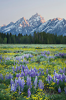Wildflower meadows,  Grand Teton National Park Wyoming