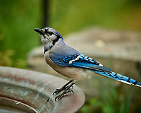 Blue Jay. Image taken with a Nikon D5 camera and 600 mm VR lens