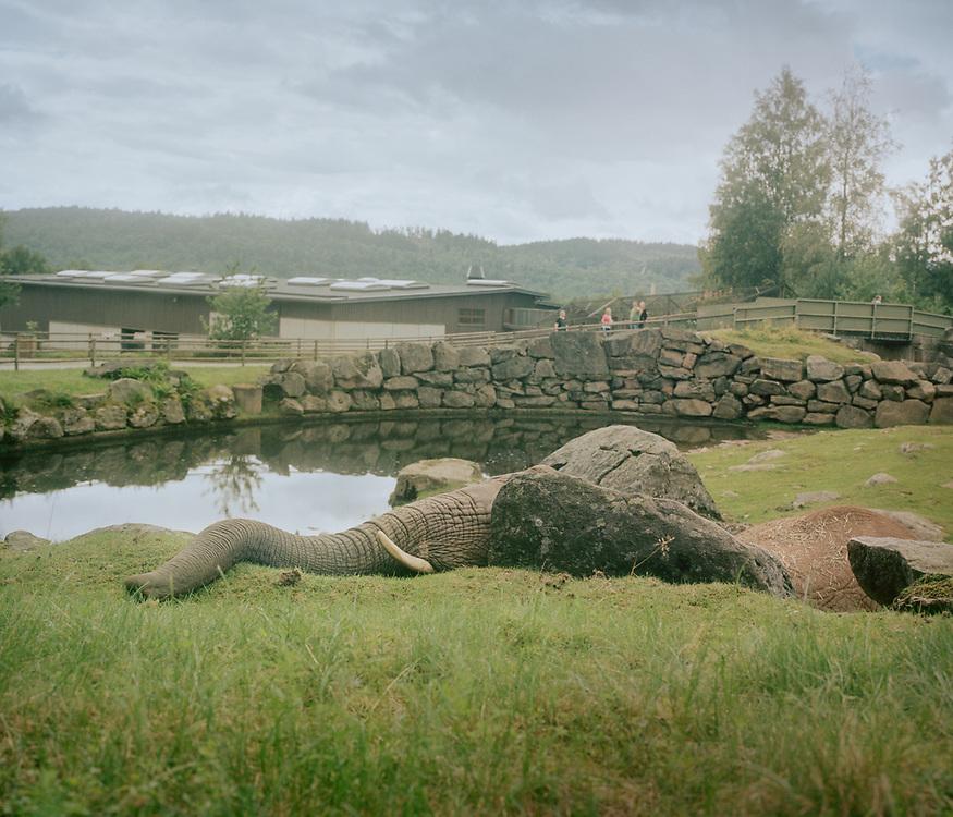 African bush elephant, Borås, Sweden.