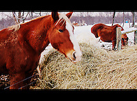 Horses eating hay image for sale, Today, very few horses are found in the wild the great majority live among people. We feed and shelter horses, put them to work, and control their breeding.