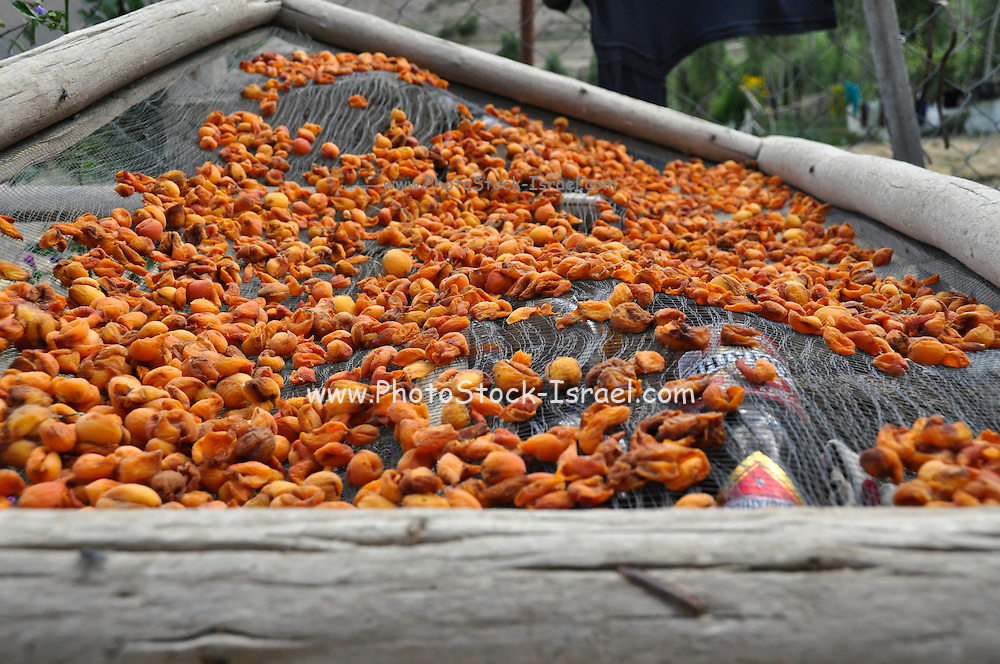 Apricots being dried in the sun. Photographed in India, Jammu and Kashmir, Ladakh, Leh