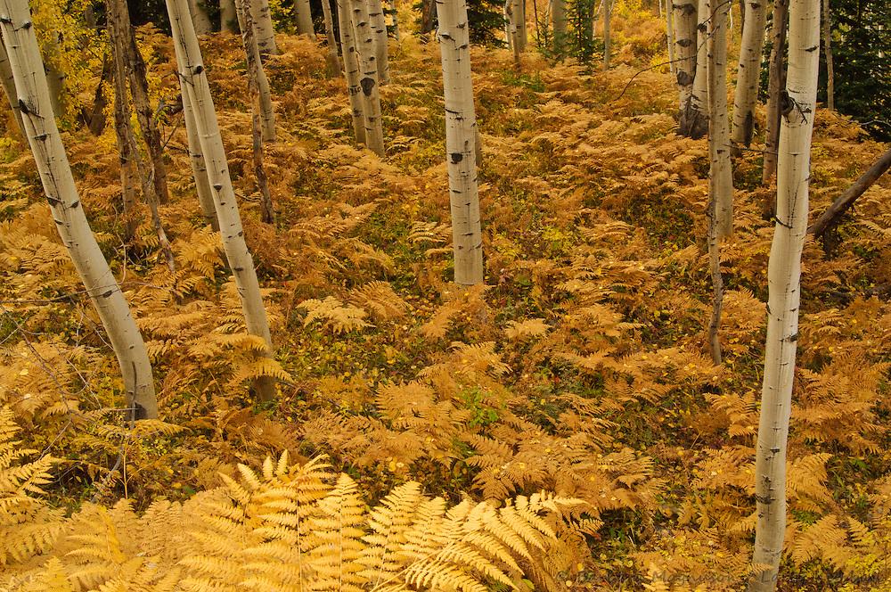 Bracken fern in  autumn color carpeting aspen grove [Populus tremuloides]; Kebler Pass, Colorado