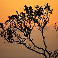 TNC Big Island Honomalino Preserve, Ohia silhouette @ sunset