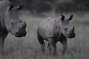 Rhino mother and calf..A year ago the mother rhino had her horn removed in order to protect her from poachers.  The keratine horn has re-grown a small amount but enough to put her in danger of being poached...Private game reserve, Limpopo province...Nkwe Wildlife Security Services based in the Lapalala Wilderness Area, Limpopo, South Africa...© Zute Lightfoot