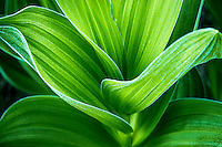 Vibrant corn lily plants grow in the high elevations of Utah's Wasatch Mountains. Detail shots of their curving leaves are one of the benefits of venturing out to find these beautiful plants in the early Summer.