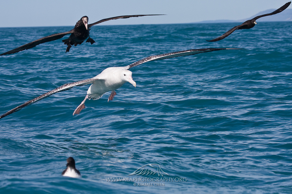 A good view of the different sizes of various petrels compared to the mighty Southern Royal Albatross.