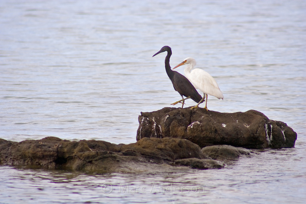 Two Pacific Reef Egrets standing on a rock together. One is the dark grey form and the other is the white form..