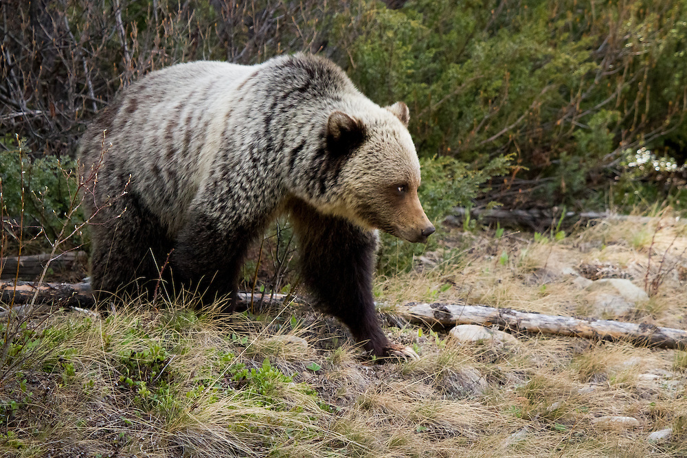 Grizzly bear, blonde, Banff National Park, BNP, Alberta, Canada.