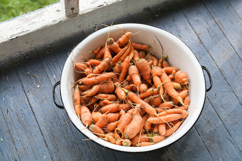 Fresh picked carrots sit in a white ceramic pail on a blue porch deck