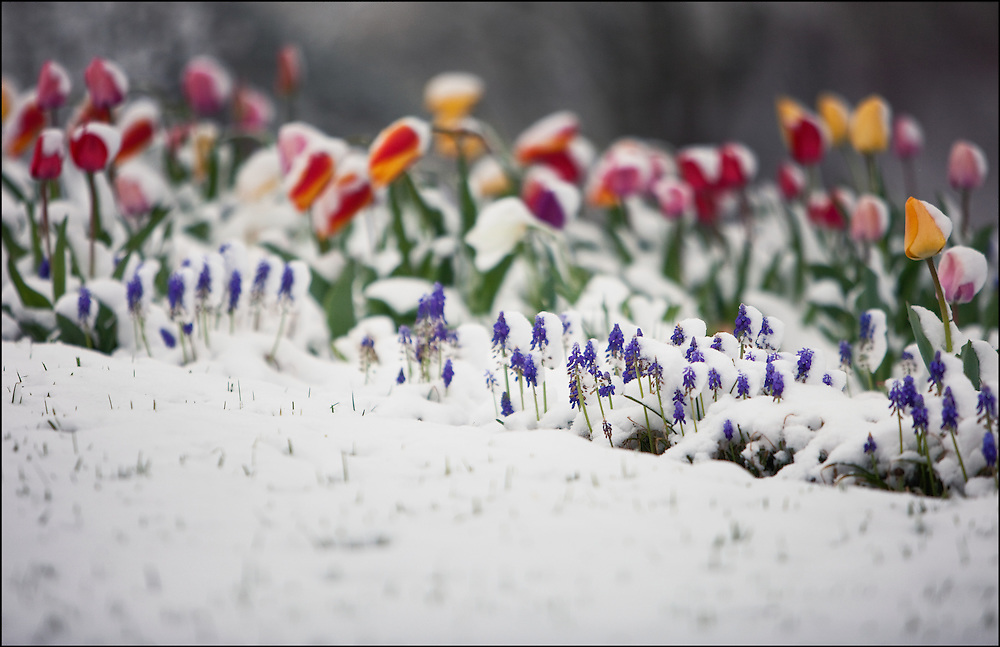 Early May snow blanketed flowers in Salina, KS before Mothers Day.