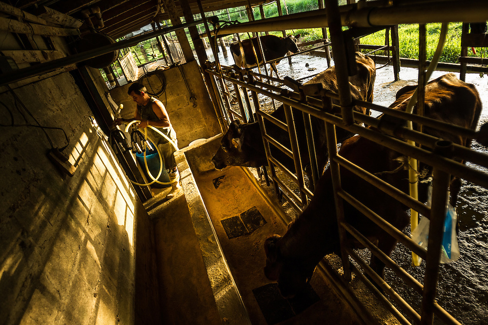 Hermes Arce, 45, puts away equipment for milking cows at his dairy in Costa Rica. Rancers with land and cattle near by pineapple plantations say the crops produce flies that make their cattle sick.