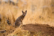 Cub of a Golden Jackal (Canis aureus), also called the Asiatic, Oriental or Common Jackal near its den, Photographed in Israel in July