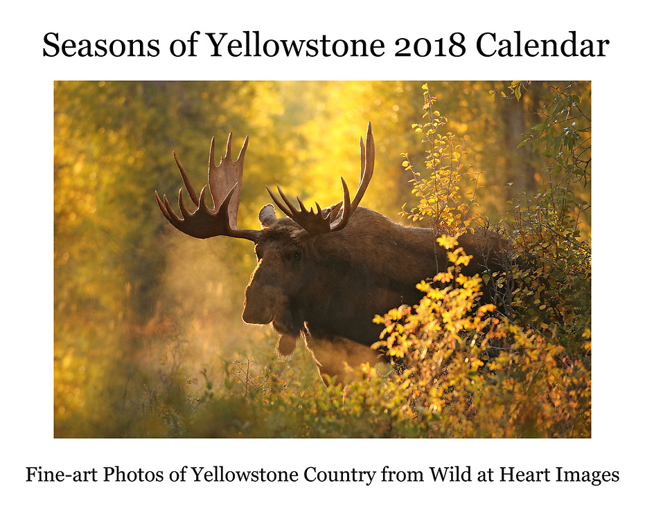 "The Seasons of Yellowstone 2018 Calendar is now available for purchase. This 14x22"" wall calendar features some of our favorite images of wildlife from the Greater Yellowstone Ecosystem, including bears, bison, moose and more. The over-sized calendar has larger date grids, providing more room for keeping track of important dates and appointments. As our best-selling item, the Seasons of Yellowstone 2018 Calendar is a must for anyone who loves Yellowstone and wildlife."