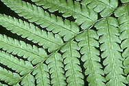 Scaly Male Fern - Dryopteris borreri