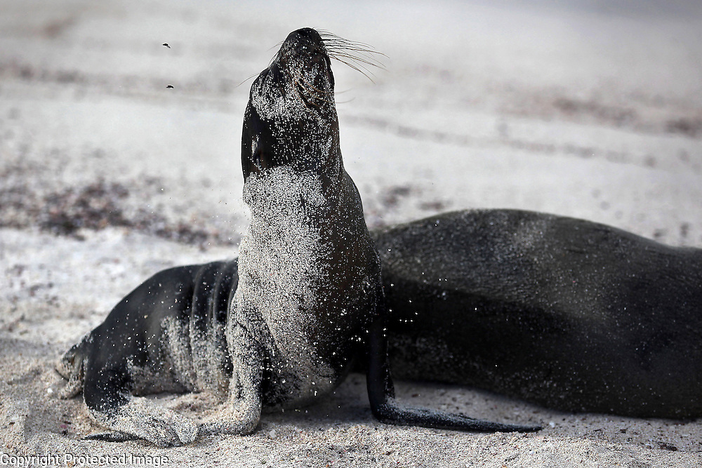 A sea lion lifts its nose high in the air on Espanola Island in the Galapagos.