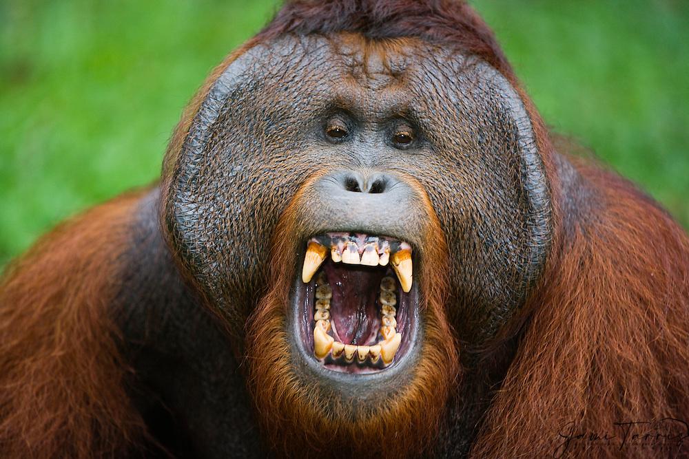 A dominant male orangutan | Jami Tarris Photography